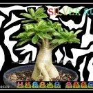 SILVER RCN Plant Bonsai Adenium Arabicum Desert Rose 5 Seeds Per Pack