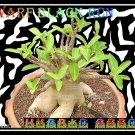 Draef Black RCN Plant Bonsai Adenium Arabicum Desert Rose 5 Seeds Per Pack