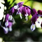 Dark Purple Bleeding Heart 25 Seeds Spectabilis Shade Flower Garden