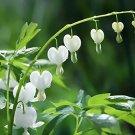 White Bleeding Heart 25 Seeds Spectabilis Shade Flower Garden