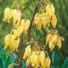 Light Yellow Bleeding Heart 25 Seeds Spectabilis Shade Flower Garden