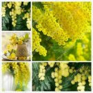 50 seeds Golden Albizzia seeds beautiful Golden acacia tree