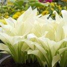 20pcs Hosta Plantaginea Fragrant Plantain Seeds White Lace