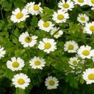 100 Seeds Feverfew- Parthenium Flower Garden Decore