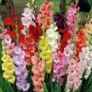 10 Gladiolus Bulbs-Spectacular Rainbow Mix