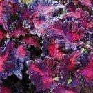 Fresh 50 Coleus Black Dragon Shade Loving Flower Seeds / Perennial
