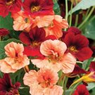30 seeds Gleam Glorious Nasturtium Mix Flower Seeds / Perennial