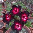 Pink Black White Desert Rose Adenium Obesum Perennial Flower 4 seeds