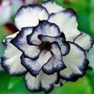 Black White Desert Rose Adenium Obesum Perennial Flower 4 seeds