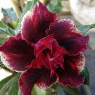 Double Red Magenta Desert Rose Adenium Obesum Perennial Flower 4 seeds