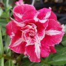 Bright Pink White Desert Rose Adenium Obesum Perennial Flower 4 seeds
