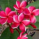 Bright Pink White Plumeria Lei Hawaiian 5 seeds Perennial Bloom Flower