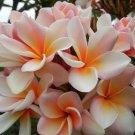 White Orange Plumeria Lei Hawaiian 5 seeds Perennial Bloom Flower