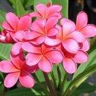 Bright Pink Plumeria Lei Hawaiian 5 seeds Perennial Bloom Flower
