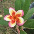 Orange Yellow Pink Plumeria Lei Hawaiian 5 seeds Perennial Bloom Flower