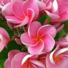 Pink Plumeria Lei Hawaiian 5 seeds Perennial Bloom Flower