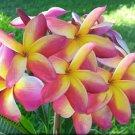 Yellow Pink Plumeria Lei Hawaiian 5 seeds Perennial Bloom Flower