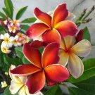 Dark Orange Plumeria Lei Hawaiian 5 seeds Perennial Bloom Flower