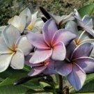 Light Blue Purple Plumeria Lei Hawaiian 5 seeds Perennial Bloom Flower