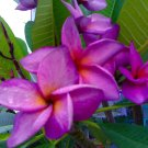 Purple White Plumeria Lei Hawaiian 5 seeds Perennial Bloom Flower
