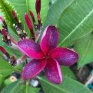 Pink Purple Lei Hawaiian 5 seeds Perennial Bloom Flower Plumeria