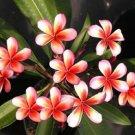 Red Orange Plumeria Lei Hawaiian 5 seeds Perennial Bloom Flower 465