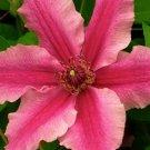 Bright Pink Plumeria Lei Hawaiian 5 seeds Perennial Bloom Flower 772