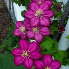 Magente Clematis Plumeria Lei Hawaiian 5 seeds Perennial Bloom Flower