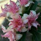 Double White Pink Plumeria Lei Hawaiian 5 seeds Perennial Bloom Flower