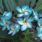 Blue White Plumeria Lei Hawaiian 5 seeds Perennial Bloom Flower