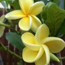 Yellow Plumeria Lei Hawaiian 5 seeds Perennial Bloom Flower