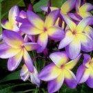 Yellow Purple Plumeria Lei Hawaiian 5 seeds Perennial Bloom Flower