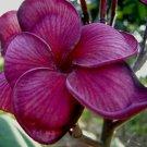 Dark Purple Plumeria Lei Hawaiian 5 seeds Perennial Bloom Flower 646
