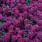 Deep Purple Alyssum, Flower Garden Ground Cover 100 Seeds per pack