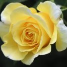 Yellow Rose Perennial Flower Potted Or Garden 5 Seeds