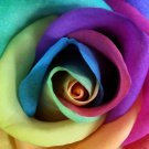 Beauty Blooming Rainbow Rose Rose Perennial Flower Potted Or Garden 5 Seeds