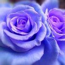 Blue Climbing Rose Decore Perennial Flower Potted Or Garden 25 Seeds