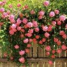 Pink Climbing Rose Decore Perennial Flower Potted Or Garden 5 Seeds