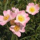 Romantic Decore Pink Brier Rose Decore Perennial Flower Potted 50 Seeds