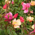 Colorfull Garden MixedAngle Wings Rose Perennial Flower Potted 25 Seeds