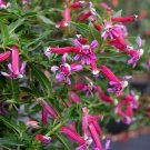 Cigar Plant Mexican Rose Collection Perennial Flower Potted 10 Seeds