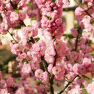 beautiful ornamental Almon Prunus Triloba Rose Collection Perennial Flower 10 Seeds