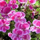 Pinto Rose Bigcoloe Geranium Collection Perennial Flower Potted 10 Seeds