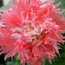 Super Collection 250 Seeds Venus Peony Rose Collection Perennial Flower