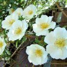 Collection White Japanese Decore Perennial Rose Flower Potted 10 Seeds