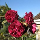 Burgundy Climbing Rose Decore Perennial Flower Potted Or Garden 5 Seeds
