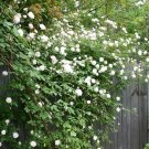 White Climbing Rose Decore Perennial Flower Potted Or Garden 5 Seeds