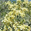 40 seeds STANSBURY CLIFFROSE Purshia Stansburiana Rose Perennial Flower