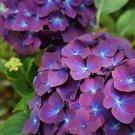 Purple Blue Hydrangea Seeds Perennial Flower 5 pcs/bag