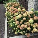 Little Lime Hydrangea Seeds Perennial Flower 5 pcs/bag